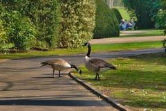 Pares de los gansos de Canad? fotos de archivo libres de regalías