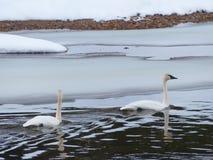 Pares de los gansos de nieve imagenes de archivo