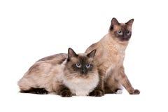 Pares de los gatos de Ragdoll Imagen de archivo