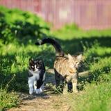 Pares de los gatos lindos divertidos que caminan a lo largo de la trayectoria en la primavera Foto de archivo libre de regalías
