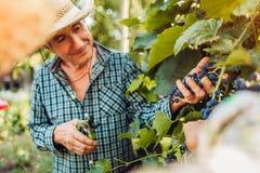 Pares de los granjeros que comprueban la cosecha de uvas en granja ecológica Cosecha feliz del frunce del hombre mayor y de la mu imagen de archivo libre de regalías