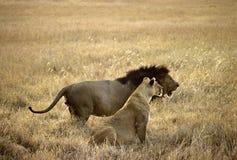 Pares de los leones Imagenes de archivo