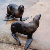 Pares de los lobos marinos septentrionales Fotografía de archivo