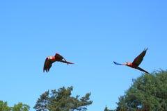 Pares de los macaws del escarlata del vuelo Imágenes de archivo libres de regalías