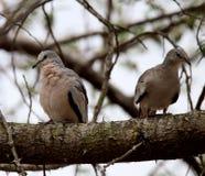 Pares de los pájaros de los pájaros en árbol Foto de archivo libre de regalías