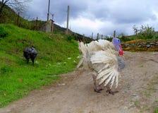Pares de los pájaros de Turquía Imagen de archivo