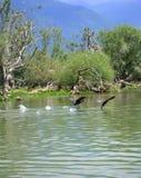 Pares de los pájaros de vuelo sobre el agua foto de archivo
