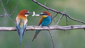 Pares de los pájaros del paraíso que se alimentan Foto de archivo libre de regalías