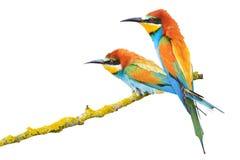 Pares de los pájaros increíblemente hermosos aislados en un fondo blanco Foto de archivo libre de regalías