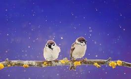 Pares de los pájaros lindos que se sientan en una rama en la Navidad g del invierno Fotos de archivo libres de regalías
