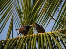 Pares de los pájaros que se relajan en una rama de árbol de coco Imagenes de archivo