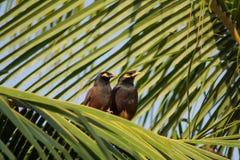Pares de los pájaros que se relajan en una rama de árbol de coco Imagen de archivo
