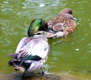 Pares de los patos de Falcated Fotos de archivo
