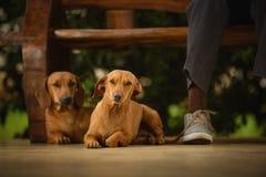 Pares de los perros de los amigos Foto de archivo libre de regalías