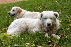 Pares de los perros de pastor imagenes de archivo