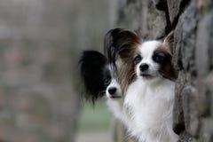 Pares de los perros del papillon Imágenes de archivo libres de regalías