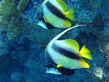 Pares de los pescados coralinos en agua azul. Imagen de archivo libre de regalías