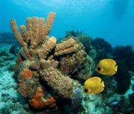 Pares de los pescados de mariposa enmascarados en el Caribe Imagenes de archivo