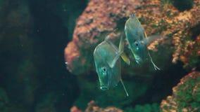 Pares de los pescados a la baja que nadan junto en el agua, pescado plano de plata divertido, especie tropical del Océano Atlánti almacen de metraje de vídeo