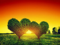 Pares de los árboles de la forma del corazón en hierba en la puesta del sol Amor Imagen de archivo libre de regalías