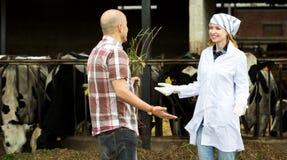 Pares de los veterinarios que trabajan con las vacas lechosas Foto de archivo libre de regalías