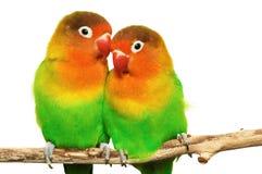 Pares de lovebirds foto de archivo libre de regalías