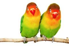 Pares de lovebirds imágenes de archivo libres de regalías