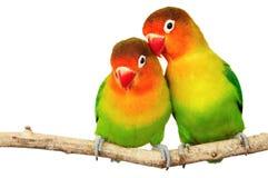 Pares de lovebirds fotos de stock