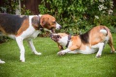 pares de luchar de los beagles Imagen de archivo libre de regalías