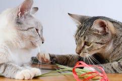 Pares de luchar de los gatos Imágenes de archivo libres de regalías
