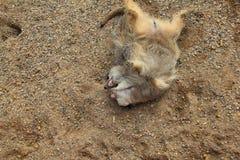 Pares de luta de Meerkats Imagens de Stock Royalty Free