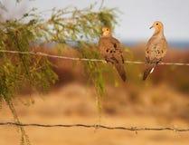 Pares de luto de la paloma - San Felipe Baja Imagenes de archivo
