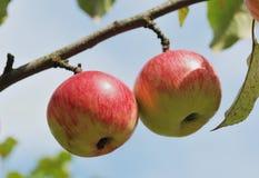 Pares de maçãs na árvore ao ar livre Fotografia de Stock Royalty Free