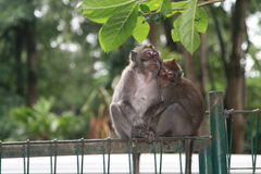 Pares de macacos fotos de stock royalty free