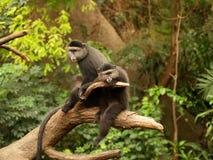 Pares de macacos Imagens de Stock