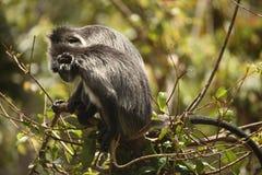 Pares de macacos Fotografia de Stock