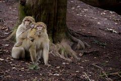 Pares de macacos com do bebê parte traseira sobre Fotografia de Stock Royalty Free