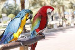 Pares de macaw imagen de archivo libre de regalías