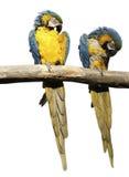 Pares de macaws Fotografía de archivo