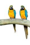 Pares de Macaws Imagem de Stock