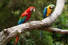 Pares de macaws bastante coloridos Foto de archivo libre de regalías