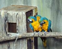 Pares de Macaws del azul y del oro imagen de archivo libre de regalías