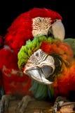 Pares de macaws militares, en la perca a cortejar imagen de archivo libre de regalías