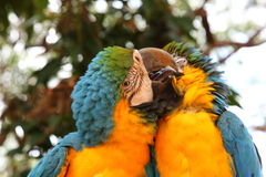 Pares de Macaws preening Fotografía de archivo libre de regalías