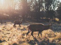 Pares de macho de los ciervos comunes durante salida del sol imagen de archivo libre de regalías