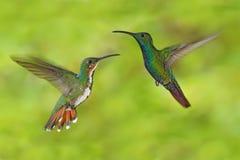 Pares de manga verde-breasted dos colibris na mosca com luz - fundo verde Foto de Stock