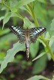 Pares de mariposas Fotografía de archivo libre de regalías