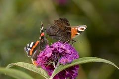 Pares de mariposas en una floración de la flor Foto de archivo