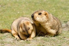 Pares de marmotas asombrosamente divertidas en la hierba verde fotos de archivo