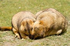 Pares de marmotas divertidas en la hierba verde foto de archivo libre de regalías